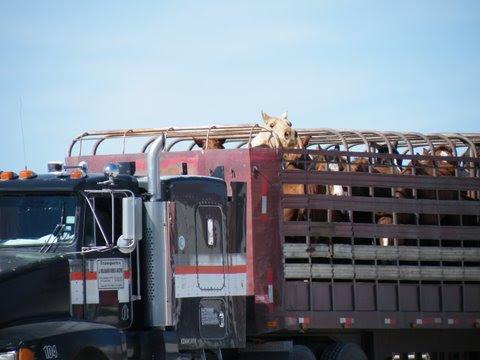 Horses on open roof  trailer