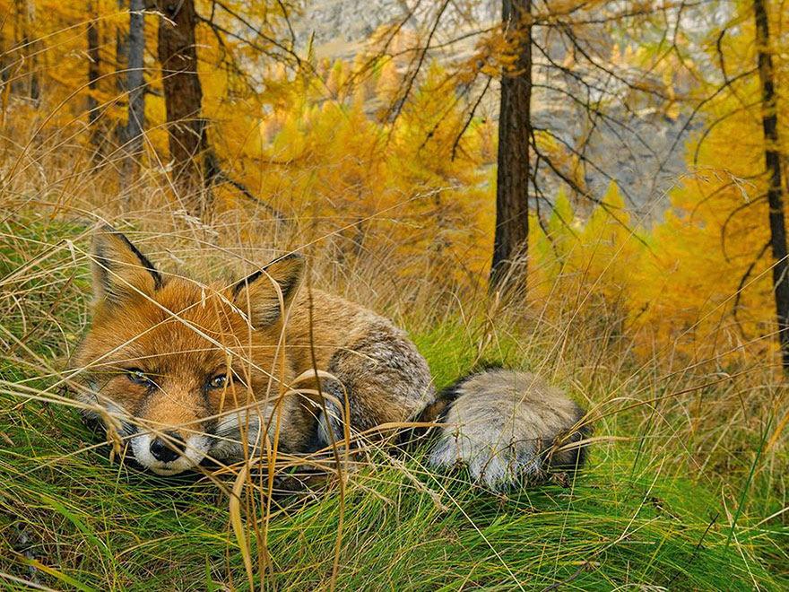 Fox Found, Gran Paradiso National Park, Italy