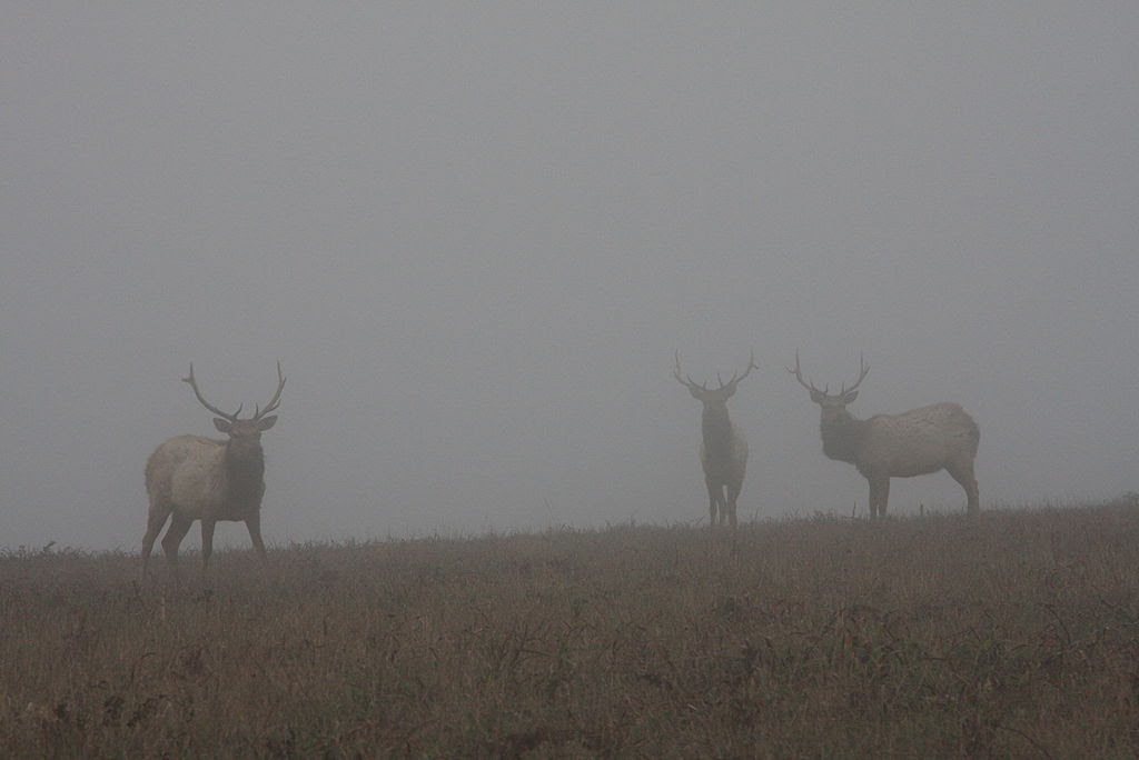 http://upload.wikimedia.org/wikipedia/commons/thumb/8/8c/Tule_Elks_in_Fog.jpg/1024px-Tule_Elks_in_Fog.jpg