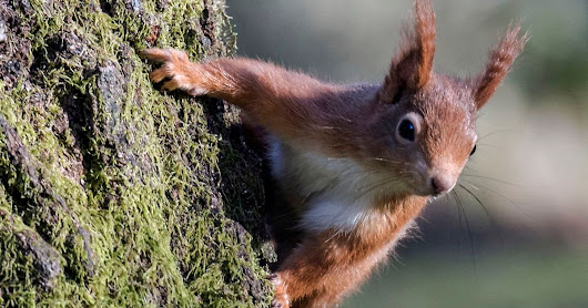 Red squirrels branch out by crossing the Menai Bridge