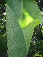 banana leaf, unfurling