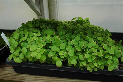 Agastache nepetoides seedlings