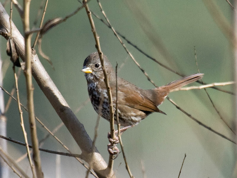 Sooty Fox Sparrow