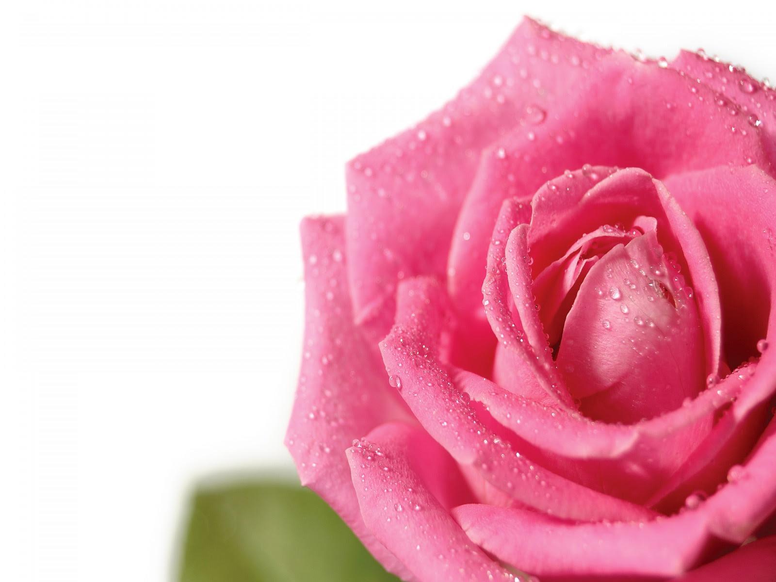 Pretty Pink Rose Wallpaper Colors Wallpaper 34511726 Fanpop Page 6
