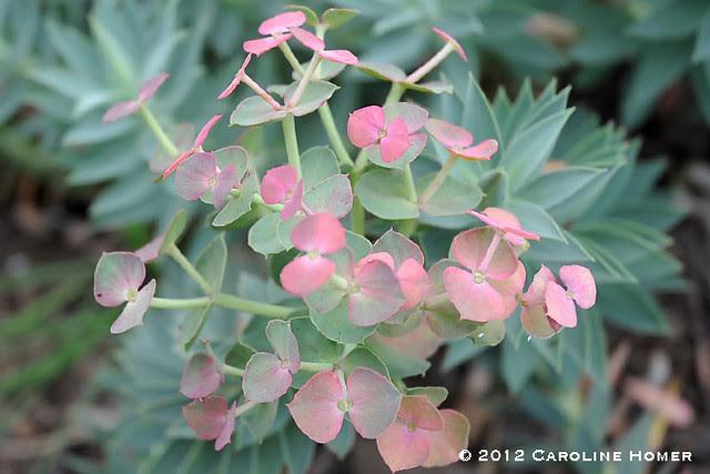 Gopher plant