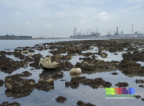Coral bleaching on Terumbu Semakau