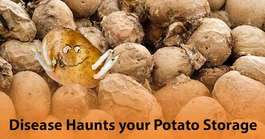 Disease haunts your potato storage | IVI Blog