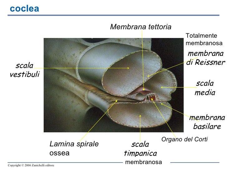 coclea Totalmente membranosa membranosa Lamina spirale  ossea Membrana tettoria Organo del Corti scala vestibuli scala tim...