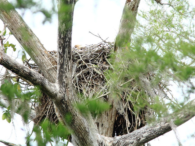 Bald Eagle nest at Big Cypress Bend 20130312