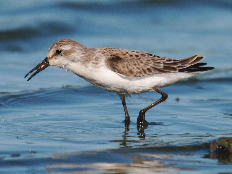 Western Sandpiper non-breeding plumage