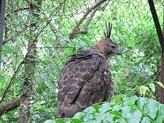 Satwa ini dianggap identik dengan lambang negara Republik Indonesia Burung Elang Jawa