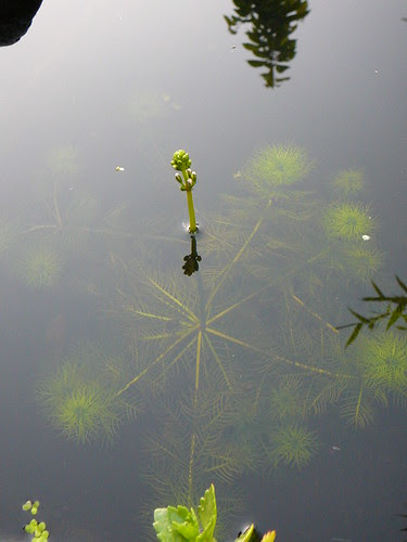 Wasserfeder mit Blütenstand