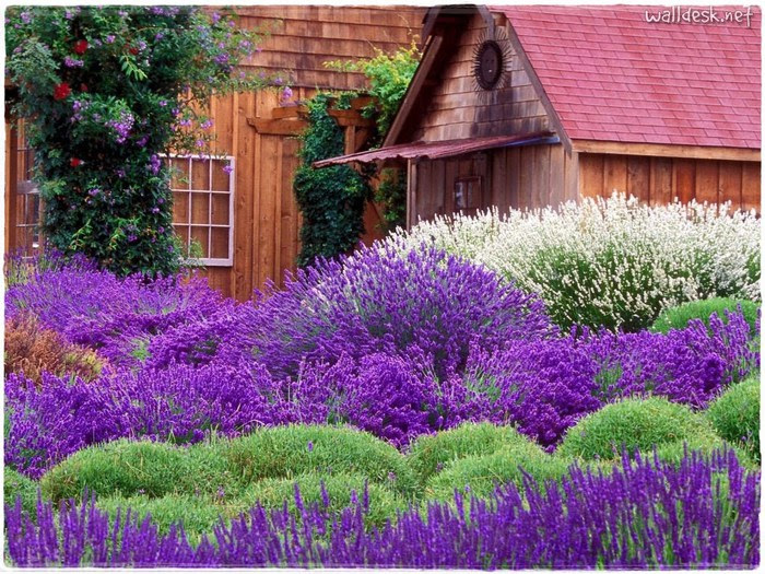 Purple-Haze-Lavender-Farm,-Sequim,-Washington (700x525, 171Kb)