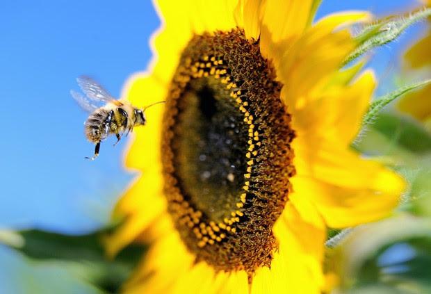 Abelhas estão diminuindo ao redor do mundo e cientistas ainda não descobriram motivo. (Foto: AFP Photo/Philippe Huguen )