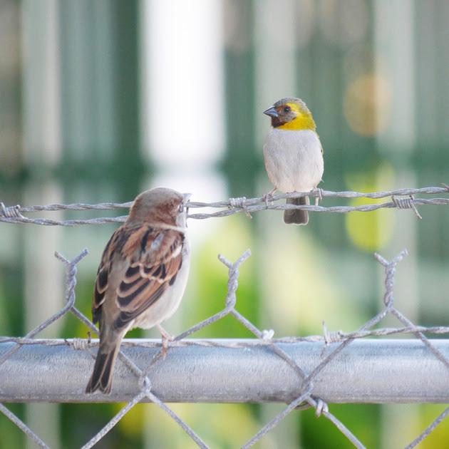 Ed Gaillard: birds &emdash; House Sprrow and Cuban Grassquit, New Providence, Bahamas