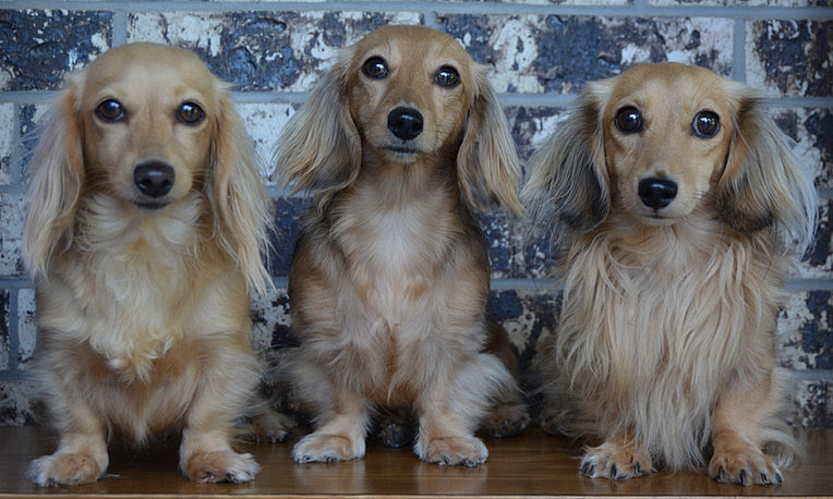 Image result for cream dachshunds