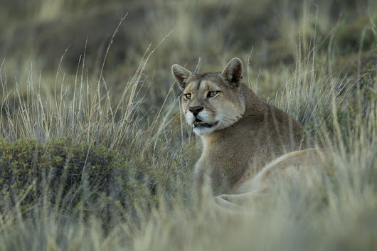PUMAS IN PATAGONIA - Sebastian Kennerknecht Photography