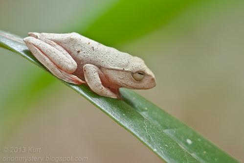 Kinabalu Tree Frog (Rhacophorus baluensis) IMG_1463 copy