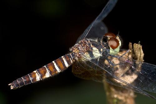 A female Nannophya pygmaea (IMG_4844 copy)
