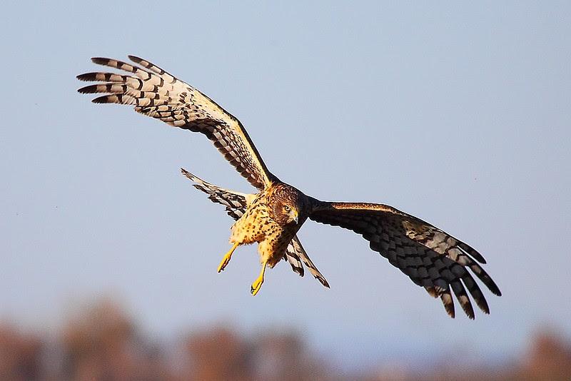 IMG_9357 Northern Harrier, Sacramento National Wildlife Refuge