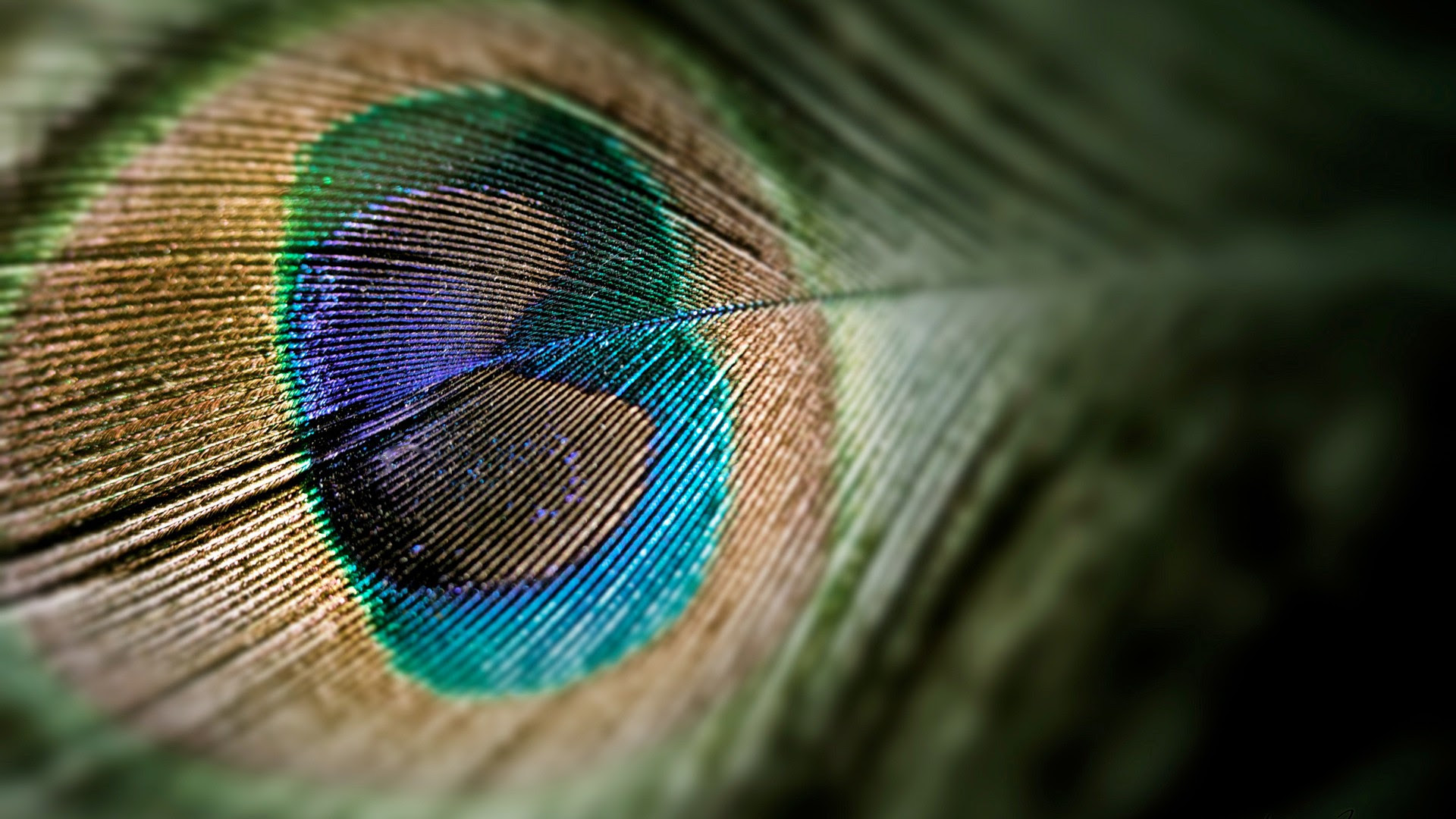 Peacock Feather [1920x1080]
