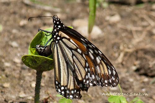 Monarch Butterfly (Danaus plexippus)-16.jpg