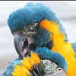 Give $1 to 'Protecting the Blue-throated Macaw' and I will match your donation