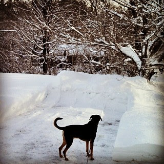 Tut thinking about climbing snow mountain #dogstagram #adoptdontshop #Rescued #coonhoundmix #snow #newengland #driveway #winterwonderland #ilovemydogs