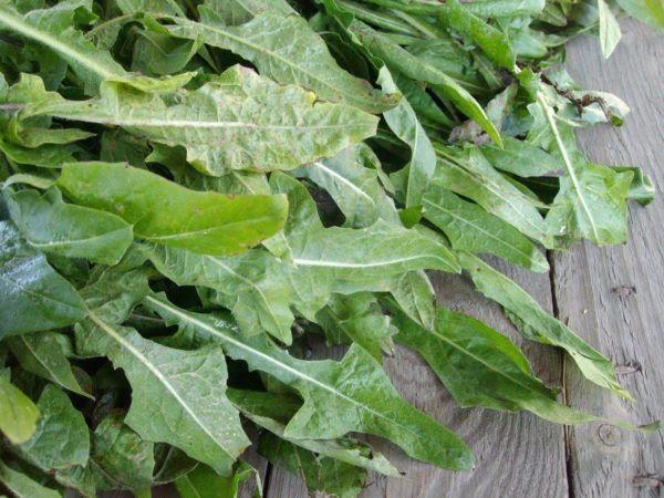 230-plantas-medicinales-mas-efectivas-y-sus-usos-achicoria-planta
