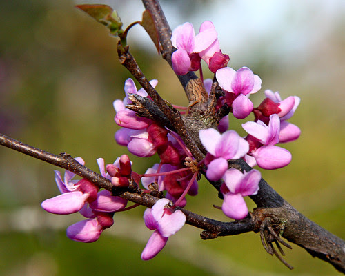 We have a bunch of red bud trees here...sure do love it every spring when they show their colors!