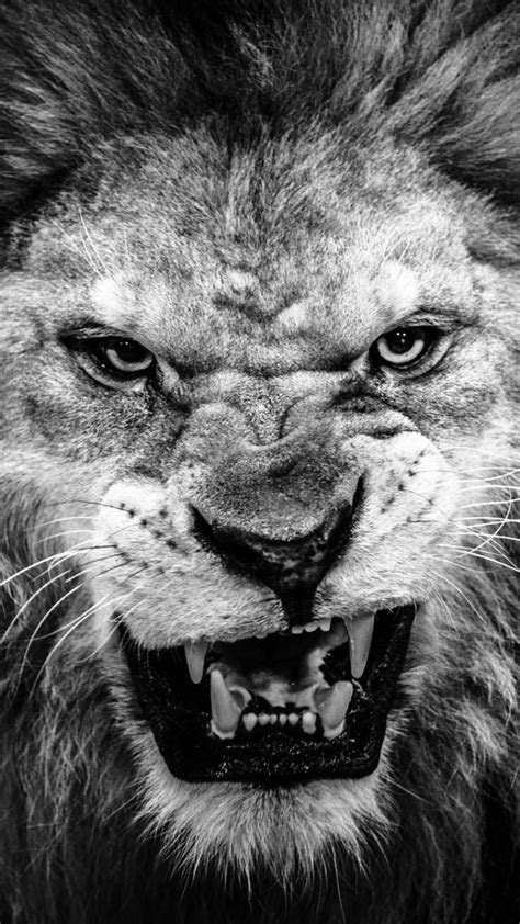 dark fierce lion face macro iphone  wallpaper cars