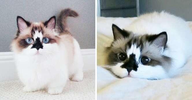 Conheça Albert, o gato da raça Munchkin que é uma celebridade no Instagram