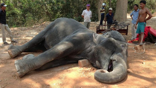 Cambodia tourism: Call to end rides after elephant's death - BBC News