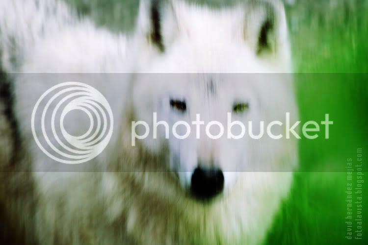 Un lobo blanco fotografíado en la salvaje soledad del zoo de Madrid