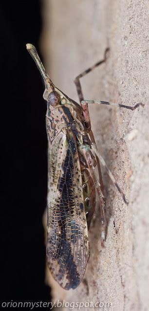 IMG_9669 merged copy Prolepta sp. lantern bug