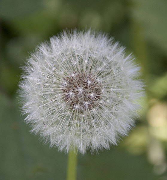 File:Dandelion (3521871211).jpg