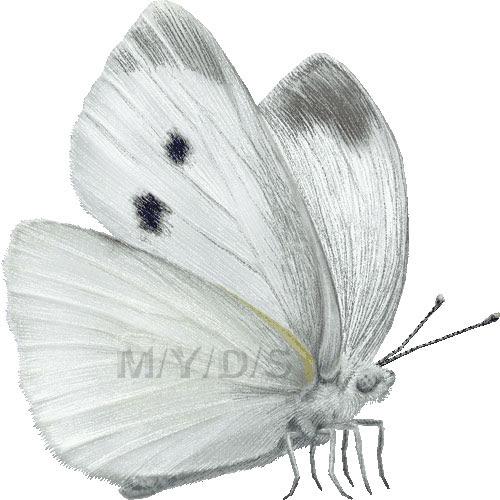 紋白蝶モンシロ チョウのイラスト条件付フリー素材集