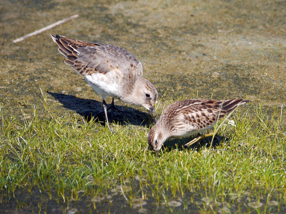 Ed Gaillard: birds &emdash; Dunlin and Semipalmated Sandpiper, Jamaica Bay