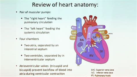video follow  heart anatomy   cardiovascular