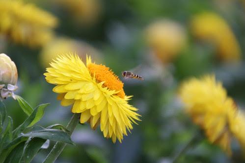 straw flower bee