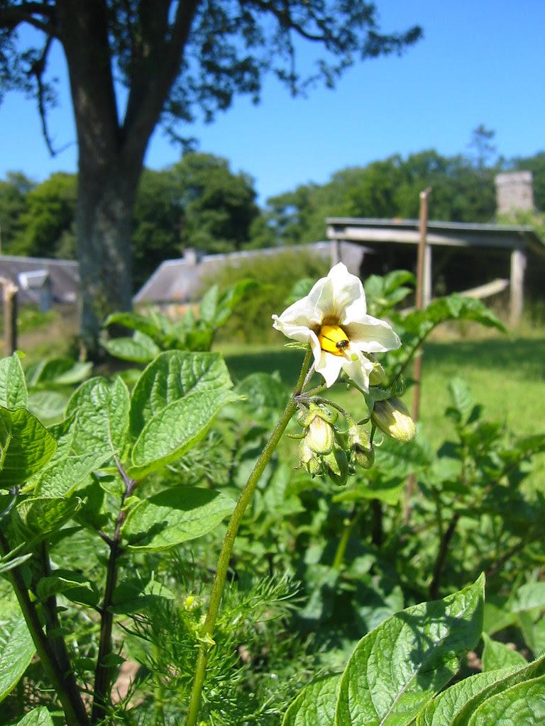 vitelotte noire flower (with beetle)