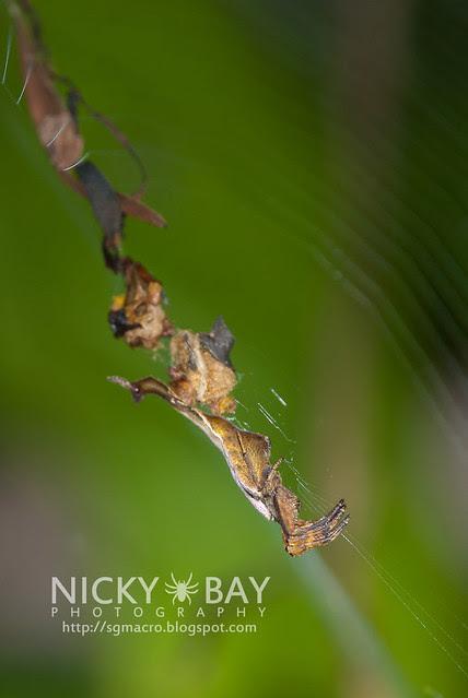 Scorpion-tailed Orb Weaver Spider (Arachnura sp.) - DSC_8063