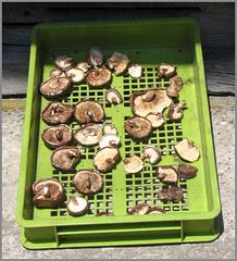 084 drying shiitake mushrooms