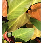 Philodendron MCCOLLEYS FINALE Tropical Live Plant Starter Size Orange Peach Leaf Houseplant Indoor Outdoor Shade Garden 4 Inch Pot Emerald R