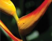 bird of paradise, costa rica. medium size. limited edition, archival quality photo print.