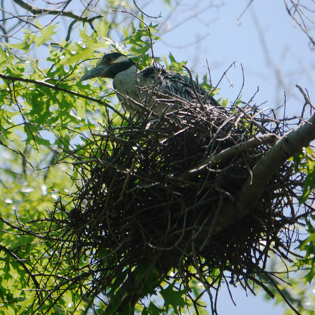 Ed Gaillard: birds &emdash; Yellow-Crowned Night Heron on nest, Governor's Island
