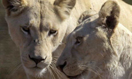 The lions that roam Africa's savannahs have lost as much as 75% of their habitat in 50 years