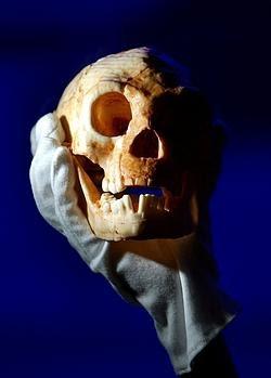 Un cráneo hallado en la isla de Flores