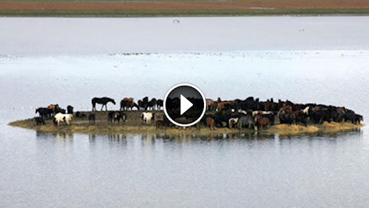 Hundreds of Horses Trapped on an Island Face Certain Death, Until Six Women Do The UNTHINKABLE…