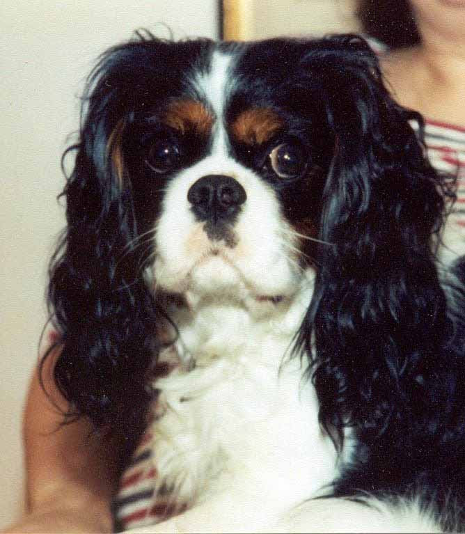 Cavalier King Charles Spaniel Health Genetic Diseases